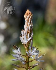 <i>Asphodelus ramosus</i>