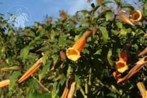 <i>Brugmansia vulcanicola</i>