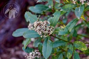<i>Skimmia japonica</i>