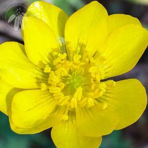 <i>Ranunculus canus</i>