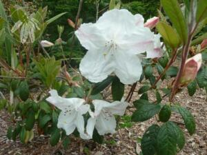<i>Rhododendron</i> 'Fragrantissimum'