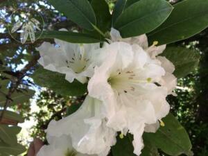 Rhododendron decorum