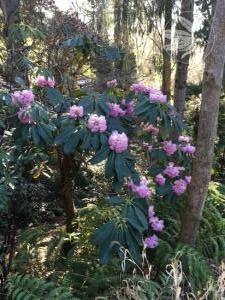 <i>Rhododendron protistum</i>