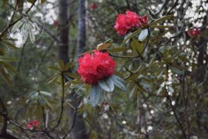 <i>Rhododendron arboreum</i> subsp. <i>Delavayi</i>