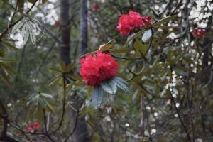 <i>Rhododendron delavayi</i>