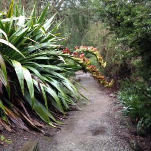 <i>Doryanthes palmeri</i>