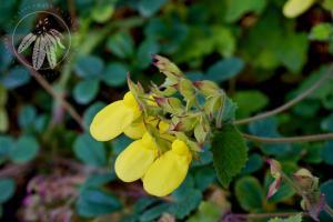 <i>Calceolaria tomentosa<i>