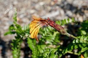 <i>Mutisia acuminata</i>
