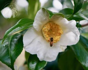 <i>Camellia japonica</i>