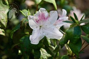 <i>Rhododendron mucronatum</i>