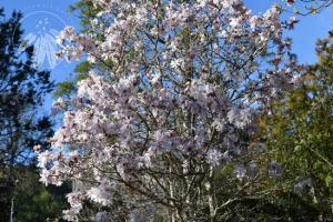 <i>Magnolia stellata</i>