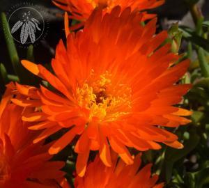 <i>Lampranthus glaucoides</i>