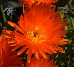 Lampranthus glaucoides