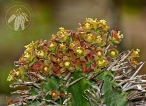 <i>Euphorbia polygona</i> var. <i>horrida</i>