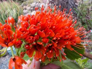 <i>Greyia sutherlandii<i>