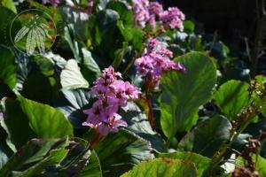 <i>Bergenia crassifolia</i>