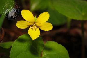 <i>Viola glabella</i>