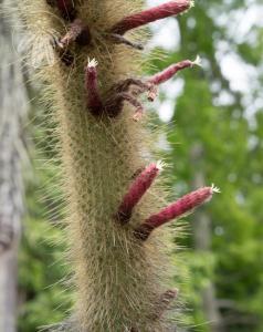 <i>Cleistocactus buchtienii<i>