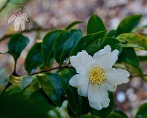 <i>Camellia sasanqua</i>
