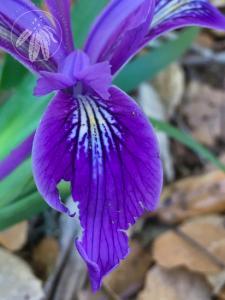 <i>Iris douglasiana</i>