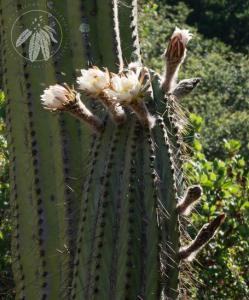 <i>Echinopsis terscheckii</i>