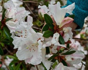 Rhododendron pachypodum