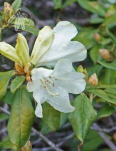 Rhododendron burmanicum