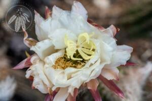 Echinopsis lamprochlora
