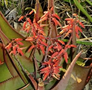 <i>Aloe rivae</i>