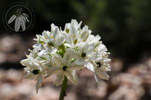 <i>Triteleia hyacinthina</i>