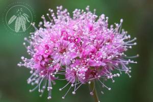 <i>Spiraea splendens</i>