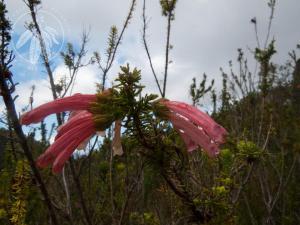 <i>Erica glandulosa</i>