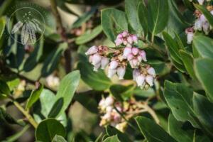 Arctostaphylos crustacea subsp. Rosei