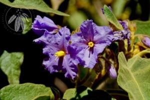 <i>Solanum hispidum</i>