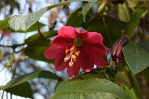 <i>Passiflora mollissima</i>