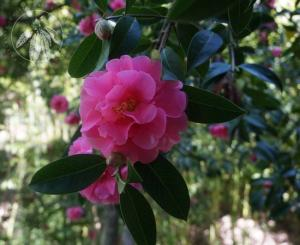 <i>Camellia reticulata</i>  'Willow Wand'