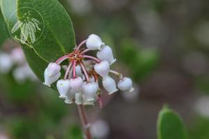 <i>Arctostaphylos hookeri</i>