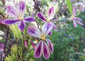 <i>Pelargonium triste</i>