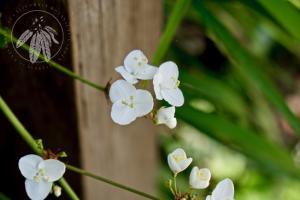 <i>Libertia chilensis</i>