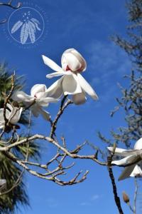 <i>Magnolia campbellii</i>
