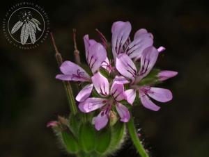 <i>Pelargonium drummondii</i>