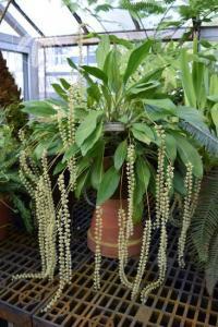 <i>Dendrochilum latifolium</i>