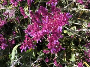 <i> Salvia canariensis</i>