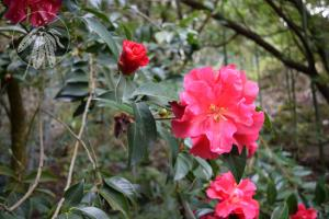 <i>Camellia saluenensis</i>