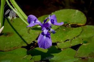 <i>Iris laevigata</i>