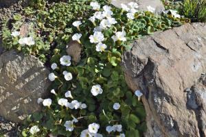 <i>Oxalis purpurea</i>