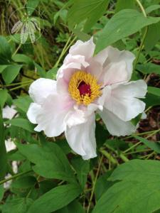 <i>Paeonia suffruticosa</i>