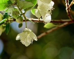 <i>Luma apiculata</i>