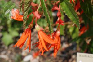 <i>Begonia boliviensis</i>