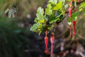 Ribes speciosum